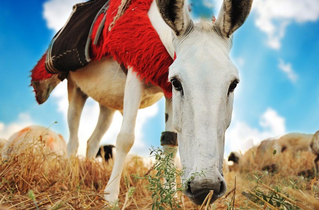 Horse or Donkey?
